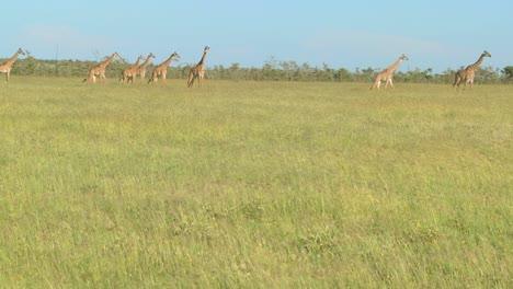 Giraffes-cross-a-golden-savannah-of-grass-in-Africa