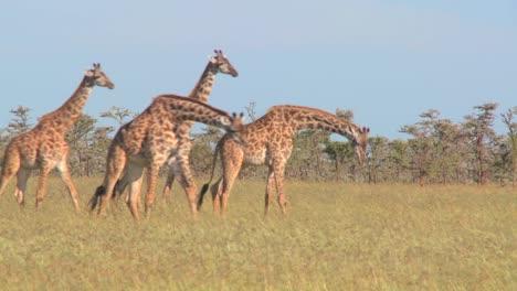 Giraffes-walk-through-golden-grasslands-in-Africa