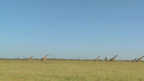 Giraffes-walk-in-the-distance-across-the-African-savannah