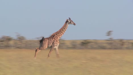A-giraffe-runs-across-the-savannah-in-Africa