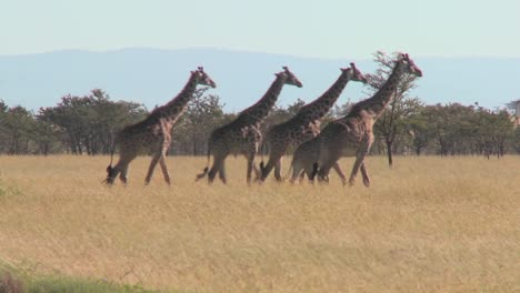Giraffes-walk-across-the-plains-of-Africa