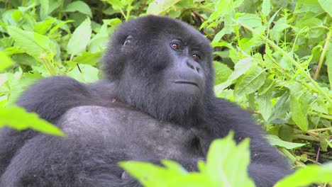 A-mountain-gorilla-sits-in-the-jungle-greenery-on-a-volcano-in-Rwanda