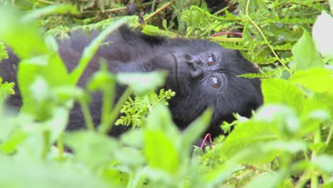 A-mountain-gorilla-sits-in-the-jungle-greenery-on-a-volcano-in-Rwanda-1