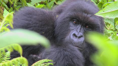 A-mountain-gorilla-sits-in-the-jungle-greenery-on-a-volcano-in-Rwanda-2