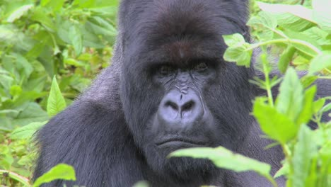 A-classic-shot-of-a-mountain-gorilla-in-the-volcanic-mountains-of-Rwanda