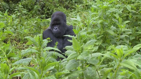 A-mountain-gorilla-sits-in-greenery-on-the-slopes-of-a-volcano-in-Rwanda