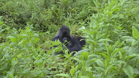 A-slow-zoom-into-a-mountain-gorilla-in-the-greenery-of-the-Rwandan-rainforest
