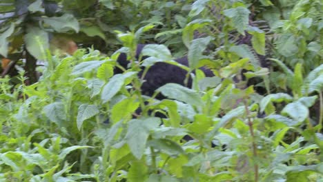 A-gorilla-mother-carries-its-baby-on-its-back-through-the-Rwandan-jungle