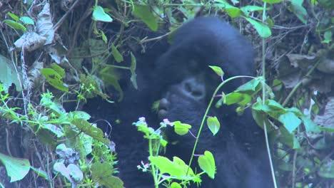 Un-Joven-Gorila-Se-Sienta-En-La-Niebla-Comiendo-Vegetación-En-Las-Laderas-De-Un-Volcán-De-Ruanda