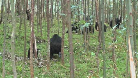 Los-Gorilas-De-Montaña-Se-Alimentan-En-Un-Bosque-De-Eucaliptos-En-Ruanda