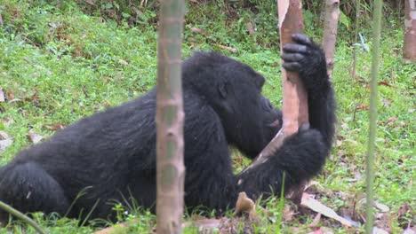 Montaña-gorillas-feed-in-a-eucalyptus-grove-in-Rwanda-1