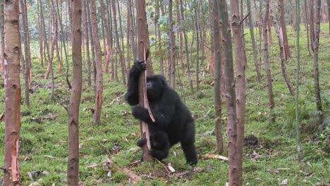 Los-Gorilas-De-Montaña-Se-Drogan-Después-De-Comerse-La-Savia-De-Los-Eucaliptos-En-Ruanda-1