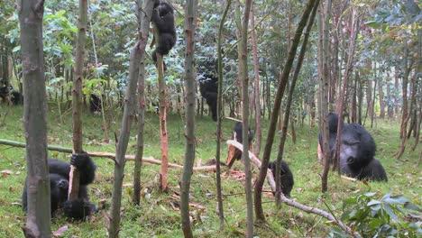 Los-Gorilas-De-Montaña-En-Un-Bosque-De-Eucaliptos-En-Ruanda