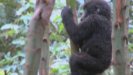 A-baby-mountain-gorilla-climbs-in-a-tree-in-Rwanda
