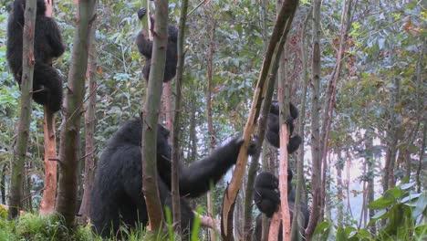 Los-Gorilas-De-Montaña-Se-Drogan-Después-De-Comerse-La-Savia-De-Los-Eucaliptos-En-Ruanda-4