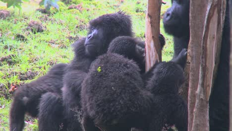 A-family-of-mountain-gorillas-in-Rwanda