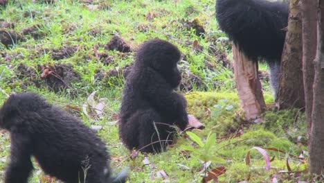 A-baby-gorilla-plays-on-the-ground-in-Rwanda