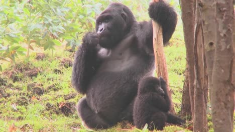 Mountain-gorillas-get-high-after-eating-the-sap-off-eucalyptus-trees-in-Rwanda-5