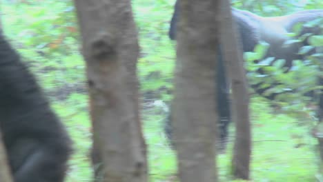 A-male-silverback-gorilla-walks-through-the-jungle-in-Rwanda
