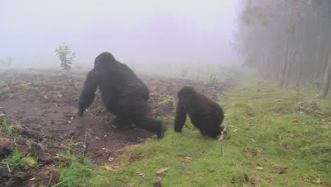 Gorilla-and-baby-walk-through-farmers-fields-in-the-mist-in-Rwanda