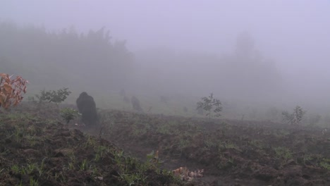 Gorila-Y-Bebé-Caminan-Por-Los-Campos-De-Agricultores-En-La-Niebla-En-Ruanda-1