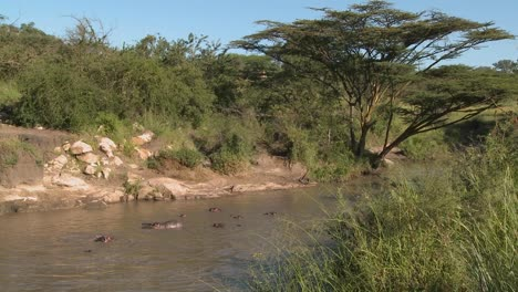 A-wide-shot-of-a-river-in-Africa-filled-with-hippos