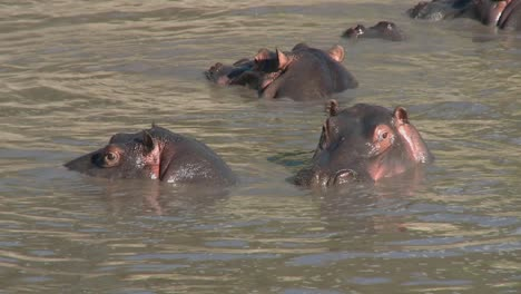 Hippos-play-in-the-water-in-an-African-river