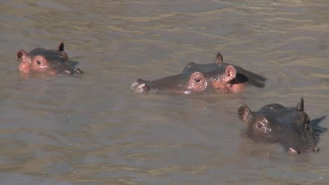 Several-hippos-peer-out-of-the-muddy-water-of-a-river-in-Africa