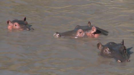 Varios-Hipopótamos-Asoman-Fuera-Del-Agua-Fangosa-De-Un-Río-En-África