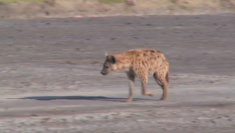 Una-Hiena-Camina-Por-Una-Carretera-En-La-Sabana-De-África-
