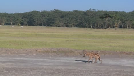 A-hyena-walks-along-a-road-in-the-savannah-of-Africa-in-this-traveling-shot