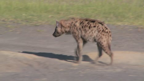 A-hyena-walks-along-a-road-in-the-savannah-of-Africa-1