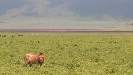 Ein-Stolzer-Männlicher-Löwe-Steht-Auf-Den-Ebenen-Afrikas
