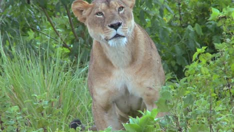 A-beautiful-shot-of-a-female-lion-posing-for-the-camera
