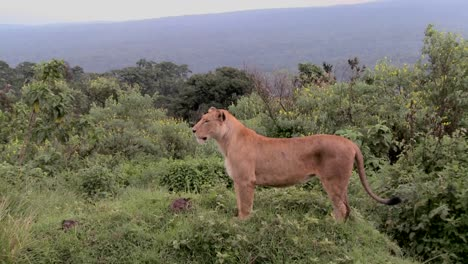 A-female-lion-poses-proudly-against-mountains-in-Africa