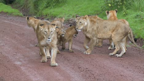 A-brood-of-lions-walks-along-a-road-in-Africa