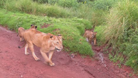 A-female-lion-walks-with-babies-along-a-road-in-Africa