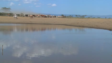 Masai-cattle-and-cows-are-herded-to-a-watering-hole-in-Kenya