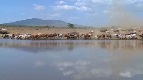 Cattle-move-around-a-watering-hole-in-Africa