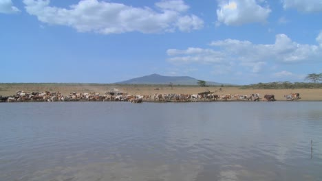 A-wide-shot-of-a-watering-hole-in-Africa-with-cattle-in-distance