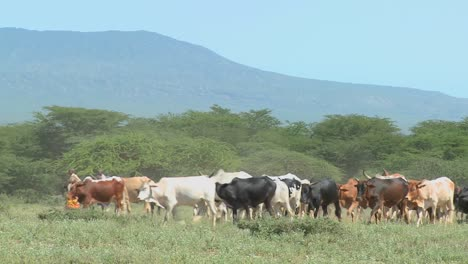 Masai-tribesmen-herd-their-cattle-in-Kenya