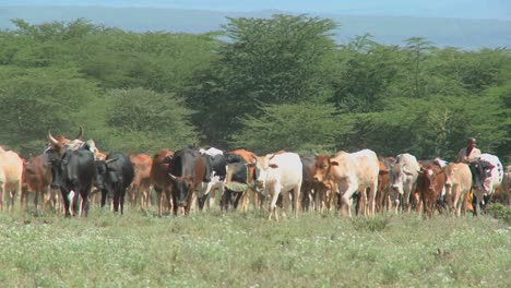 Miembro-De-Una-Tribu-Masai-Arrear-Su-Ganado-En-Kenia