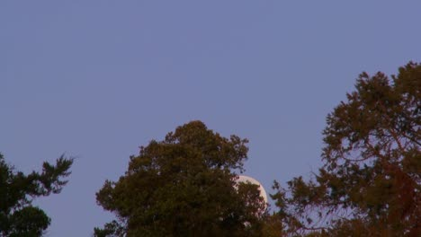 The-full-moon-rises-over-the-treetops-against-a-purple-sky-in-this-time-lapse-shot