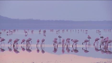 Hermosas-Imágenes-De-Flamencos-Rosados-En-La-Luz-De-La-Mañana-Temprano-En-El-Lago-Nakuru-Kenia