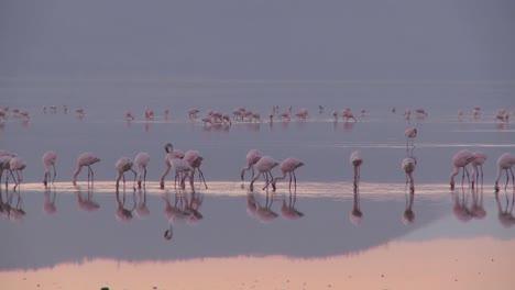 Beautiful-footage-of-pink-flamingos-in-early-morning-light-on-Lake-Nakuru-Kenya-1