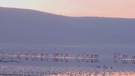 Beautiful-footage-of-pink-flamingos-in-early-morning-light-on-Lake-Nakuru-Kenya-4