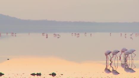 Beautiful-footage-of-pink-flamingos-in-early-morning-light-on-Lake-Nakuru-Kenya-5