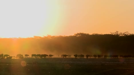Cape-buffalo-migrate-across-the-dusty-plains-of-Africa