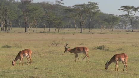 African-antelope-graze-on-the-plains