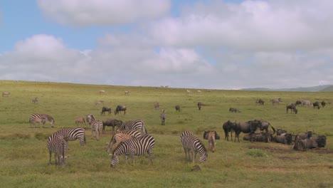 Wildebeest-and-zebras-graze-on-the-vast-open-plains-of-Africa
